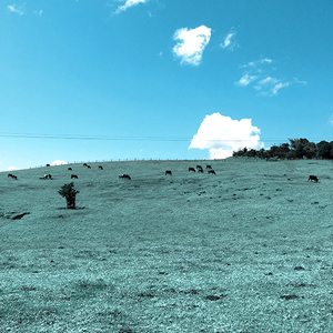 open field of cows on a hill, sunny blue clouds with few clouds